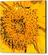 Smiling Sunflower Acrylic Print