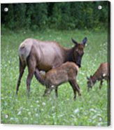 Smoky Mountain National Park Elk Cow Nursing Calf Acrylic Print