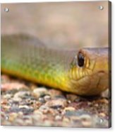 Smooth Green Snake ... Montana Art Photo Acrylic Print