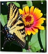 Snacking Tiger Swallowtail Butterfly Acrylic Print