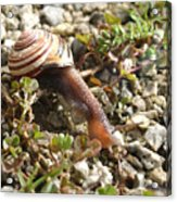 Snail On Rocks Acrylic Print