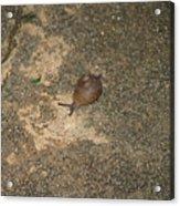 Snail On Sidewalk Acrylic Print