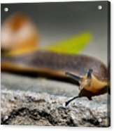 Snail Searching For Shell Acrylic Print