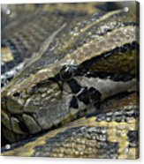 Snake At Rest. Acrylic Print