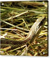 Snake In The Grass Acrylic Print
