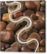 Snake Skeleton  Acrylic Print by Garry Gay