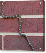 Snaking Up A Brick Wall Acrylic Print