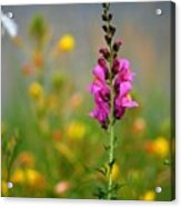 Snap Dragon Acrylic Print