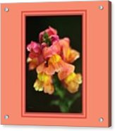 Snapdragon Flowers With Design Acrylic Print