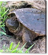 Snapping Turtle Laying Eggs Acrylic Print