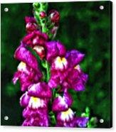 Snappy II Acrylic Print
