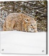 Sneaky Cat Acrylic Print