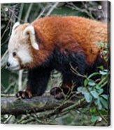 Sneaky Red Panda Acrylic Print