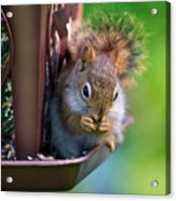 Sneaky Red Squirrel Acrylic Print