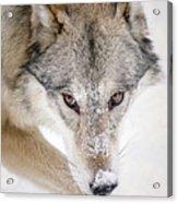 Sneaky Wolf Acrylic Print