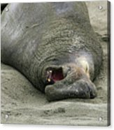 Snoring Elephant Seal Acrylic Print
