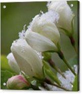 Snow Blossoms Acrylic Print