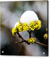 Snow Capped Flower Acrylic Print