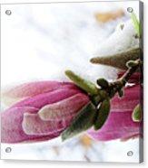 Snow Capped Magnolia Blossoms Acrylic Print