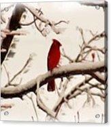 Snow Cardinal Acrylic Print by Janet Pugh