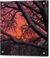 Snow Covered Branches At Sunset Acrylic Print