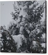 Snow Covered Pine Acrylic Print