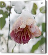 Snow-covered Rose Flower Acrylic Print