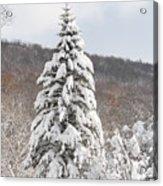 Snow Covered Spruce Acrylic Print