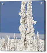 Snow Covered Spruce Trees Acrylic Print
