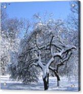 Snow-covered Sunlit Apple Trees Acrylic Print