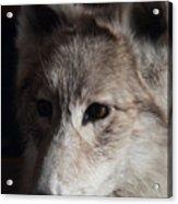 Snow Coyote Acrylic Print