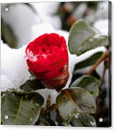 Snow Flower Acrylic Print