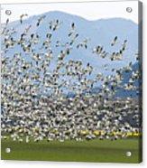 Snow Geese Exodus Acrylic Print