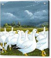 Snow Geese Gathering Acrylic Print
