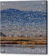 Snow Geese Landing Acrylic Print