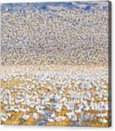 Snow Geese Take Off 1 Acrylic Print