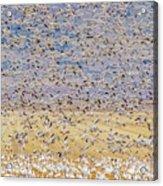 Snow Geese Take Off 3 Acrylic Print