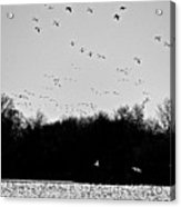 Snow Geese Winter Home In Delaware Acrylic Print