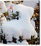 Snow Goat Acrylic Print