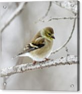 Snow Gold Finch Acrylic Print