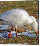 Snow Goose Feeding In A Field Acrylic Print