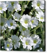 Snow In Summer Flowers Acrylic Print