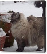 Snow Kitty Acrylic Print