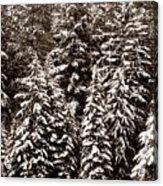 Snow-laden Forest Acrylic Print