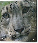 Snow Leopard 10 Acrylic Print