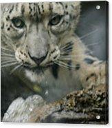 Snow Leopard 11 Acrylic Print