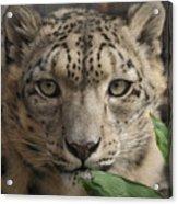 Snow Leopard 13 Acrylic Print