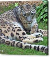 Snow Leopard, Doue-la-fontaine Zoo, Loire, France Acrylic Print