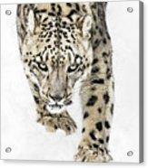 Snow Leopard On The Prowl X Acrylic Print