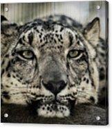 Snow Leopard Upclose Acrylic Print